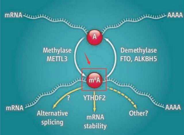 常用的RNA甲基化研究常用的数据库——RMBase v2.0、m6AVar-sci666