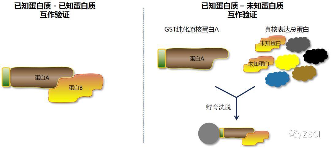 GST pulldown实验原理与实验流程-sci666