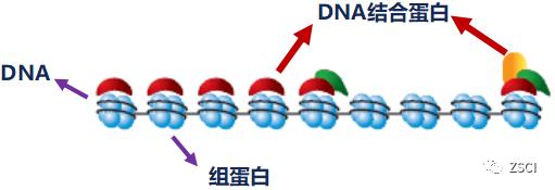 cHIP实验解析——用抗体沉淀出了DNA