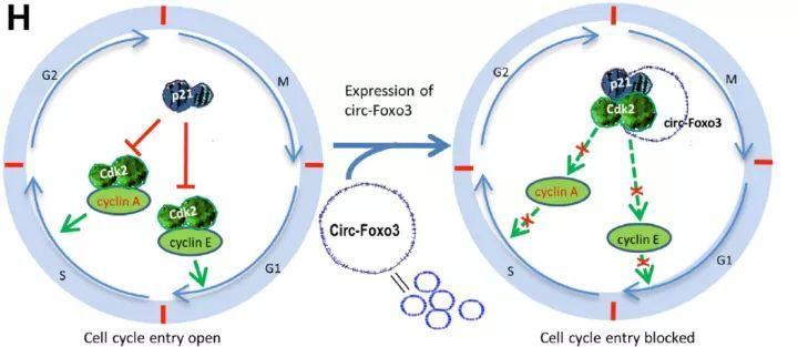 circRNA高分文章的三个研究思路