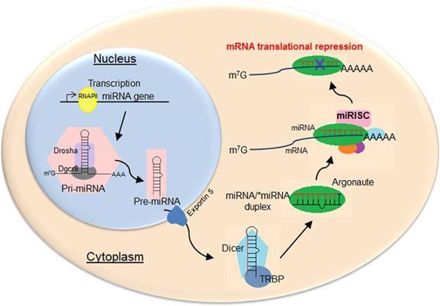 高分杂志的miRNA的SNP的基础实验研究思路-sci666