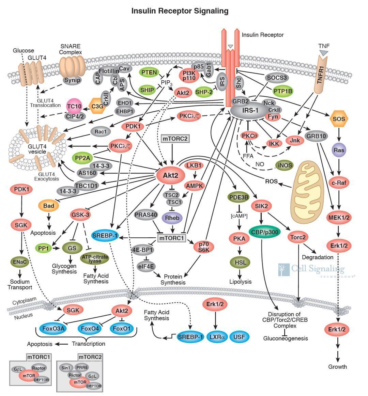 细胞信号通路图解介绍之细胞代谢相关通路-sci666