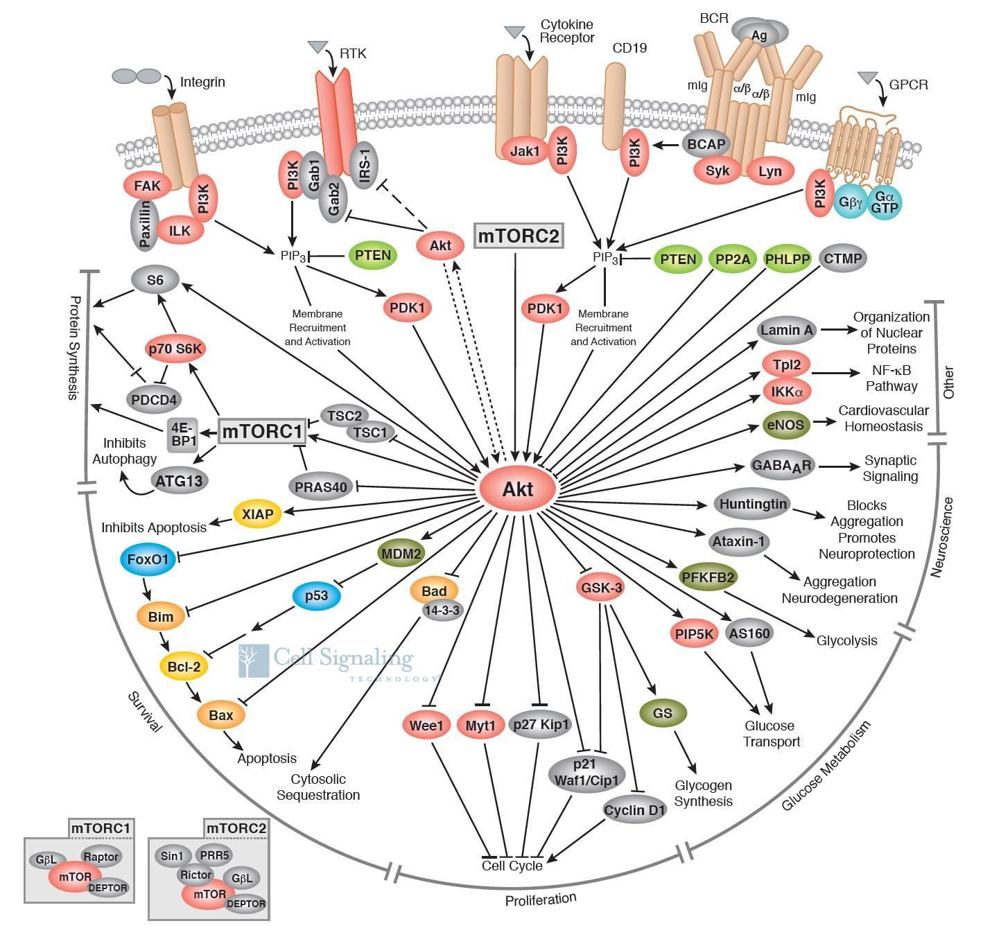 细胞信号通路图解介绍之PI3K/Akt信号通路-sci666