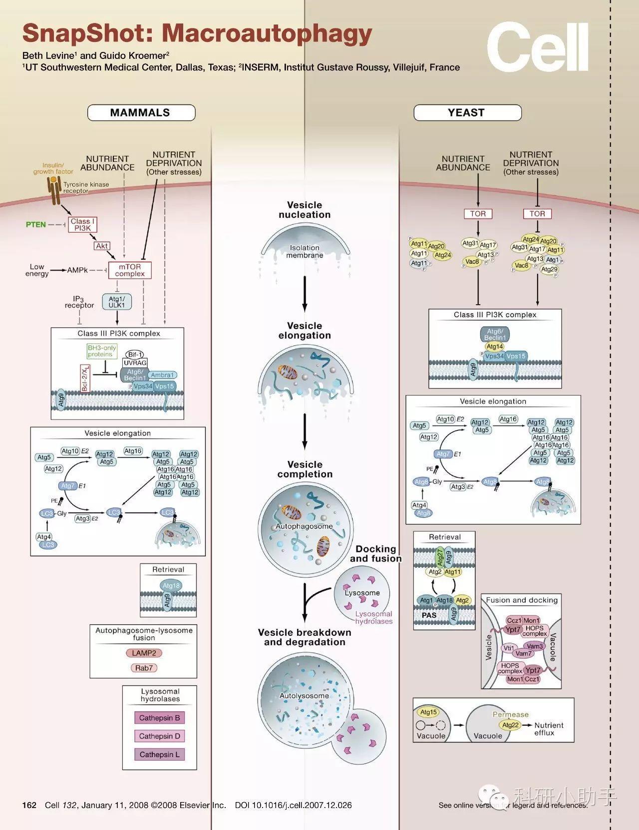 细胞信号通路图解介绍之细胞自噬信号通路-sci666