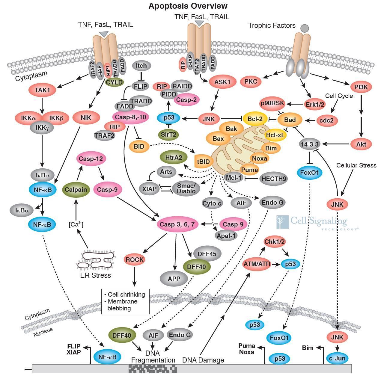 细胞信号通路图解介绍之细胞凋亡信号通路-sci666
