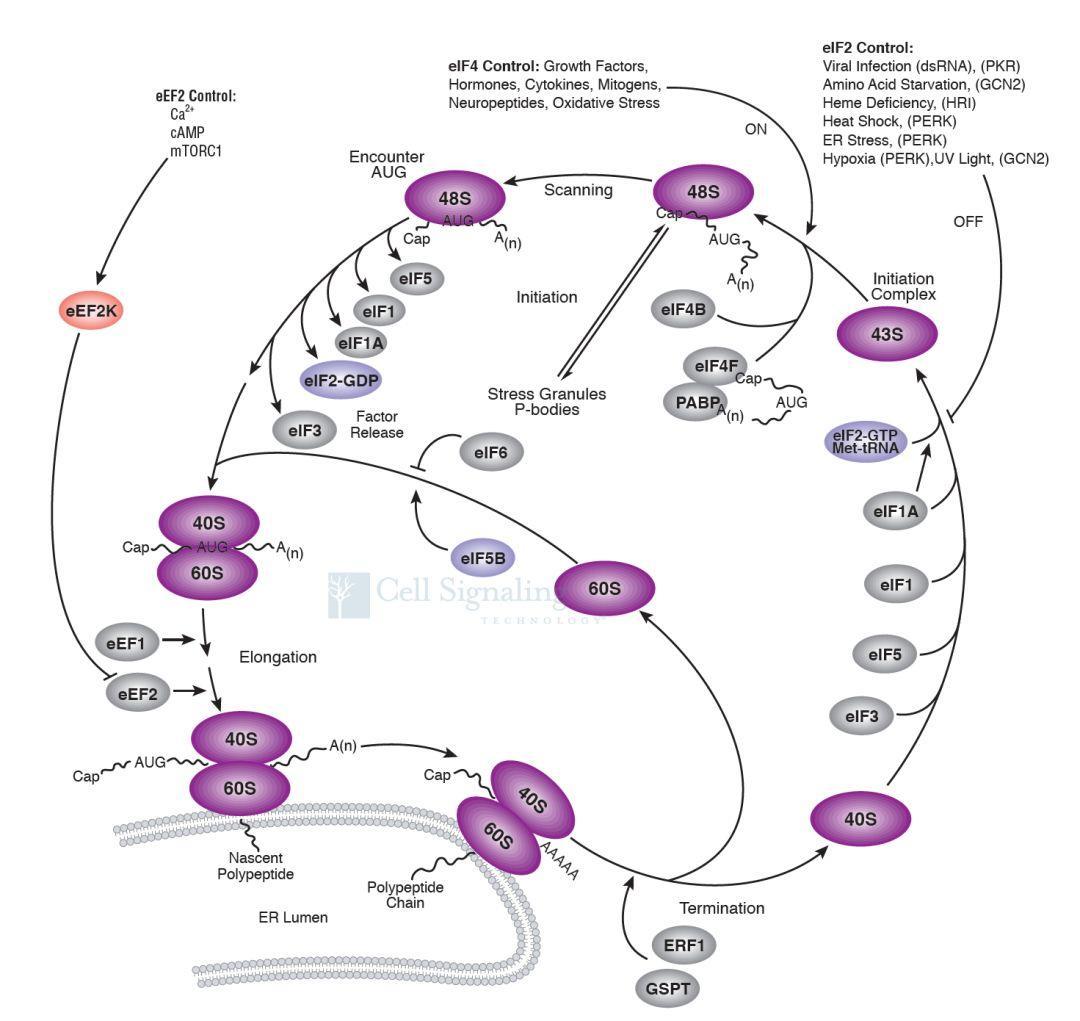细胞信号通路图解介绍之翻译控制通路-sci666