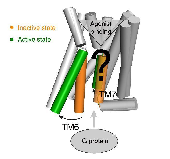 赵素文/王明伟/Babu合作团队揭示A类GPCR的共同激活机制-sci666