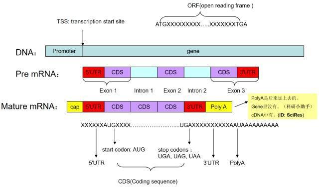 快速查找基因的启动子、UTR、TSS等区域以及预测转录因子结合位点-sci666