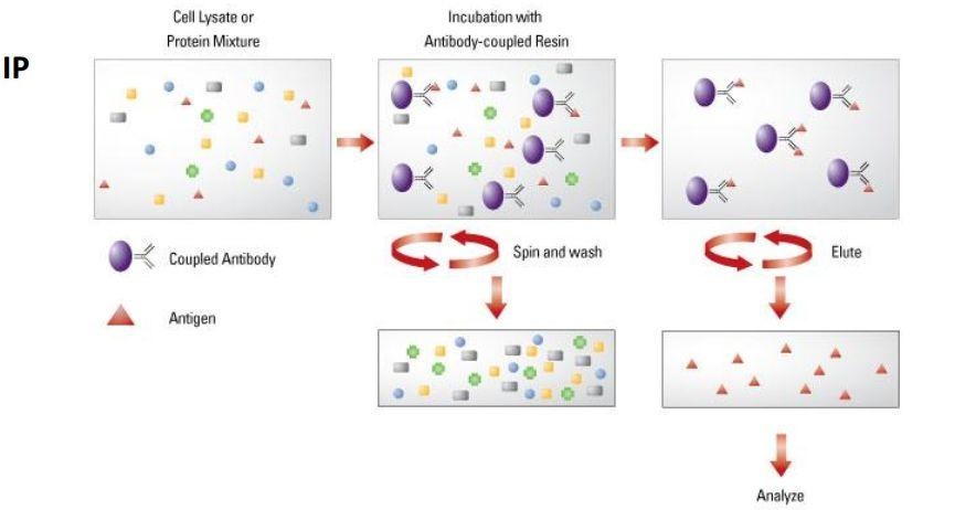 Co-IP免疫共沉淀实验原理及流程讲解-sci666