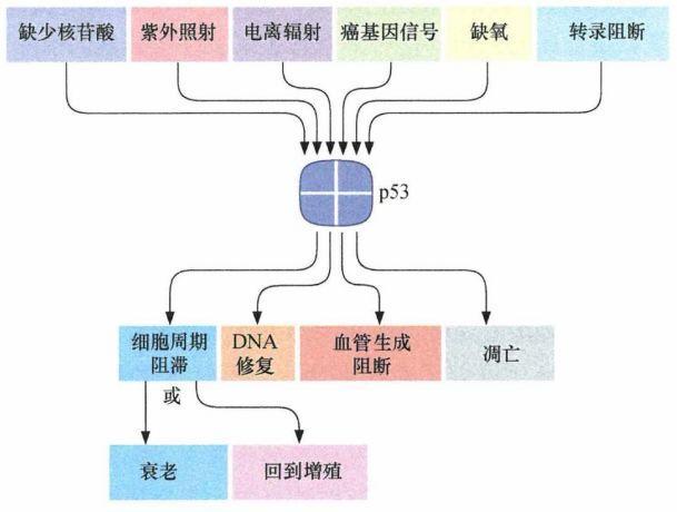 《癌生物学》第九章(2) P53水平的调控-sci666