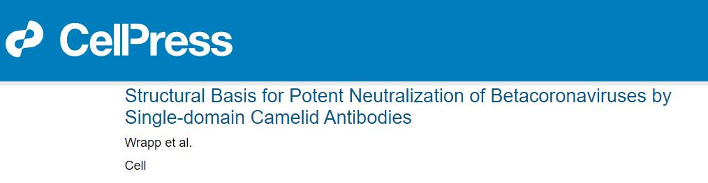 科学家改造羊驼抗体可对抗新冠 有望用于预防治疗新冠感染