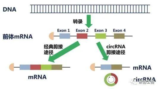 如何基于RNA-seq数据鉴定circRNA并验证