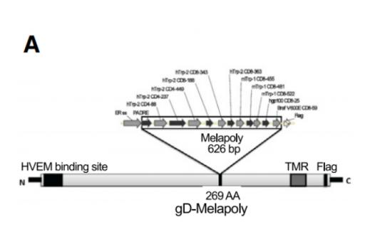 文献解读:增强CD8+T细胞脂肪酸分解代谢可提高黑色素瘤免疫疗效