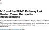 SUMO化在piRNA介导转座子沉默中的重要功能