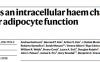 血红素分子伴侣对脂肪细胞代谢的重要调控作用
