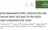 沈沁团队揭示微环境调控成体神经干细胞数量的新机制