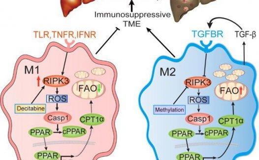 RIPK3调控肿瘤相关巨噬细胞脂肪酸代谢与肝癌发生