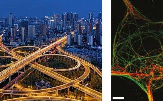 曹玉杰等揭示微管负端相关蛋白介导的神经细胞微管骨架调控机制
