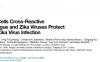 文金生等揭示登革病毒/寨卡病毒交叉反应性CD4+T细胞的保护机制