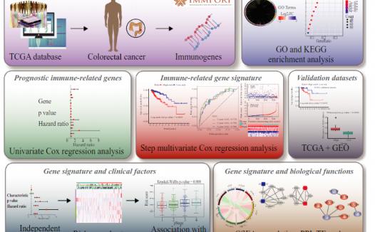 生信分析结合实验、免疫相关基因风险模型预测大肠癌患者预后