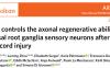 孔贵萍/周鲁明等揭示AMPK调控脊柱损伤后背根神经节感觉神经元的轴突再生