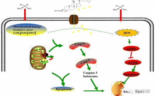 人参皂苷Rb3通过调节AMPK/mTOR介导的自噬和抑制凋亡在体内外对顺铂所致肾毒性的保护作用