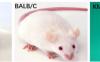 【新手攻略】小鼠繁育一般常识及注意事项