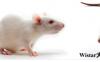 【新手攻略】大鼠繁育一般常识及注意事项