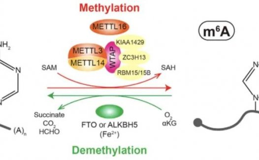m6A和TME重塑之间的相互作用 调节 m6A的潜在途径
