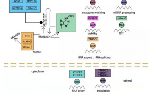 m6A阅读器YTHDF1在肿瘤中通过m6A影响下游基因表达而促进肿瘤发生